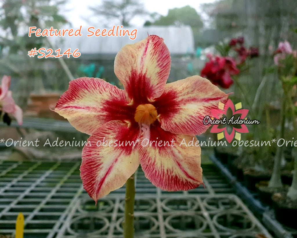 Adenium Featured Seedling #S2146