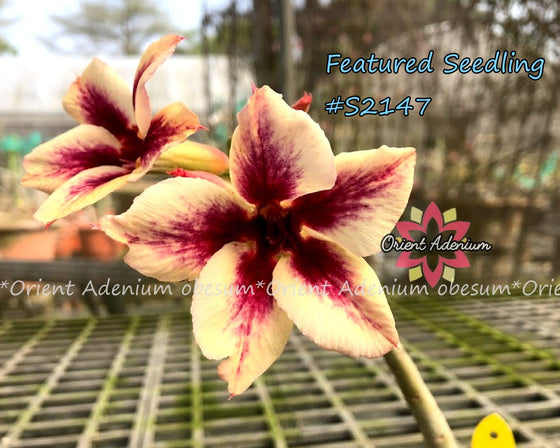 Adenium Featured Seedling #S2147