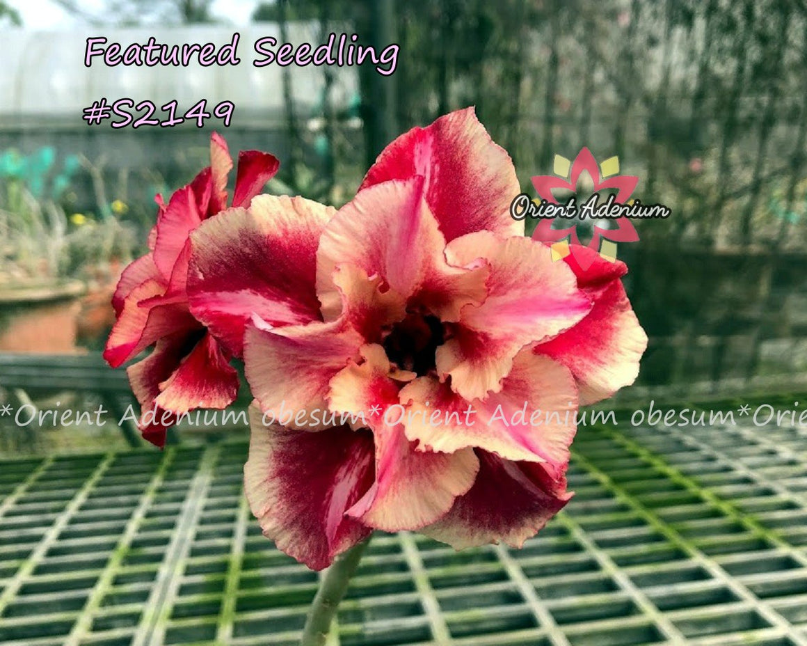 Adenium Featured Seedling #S2149