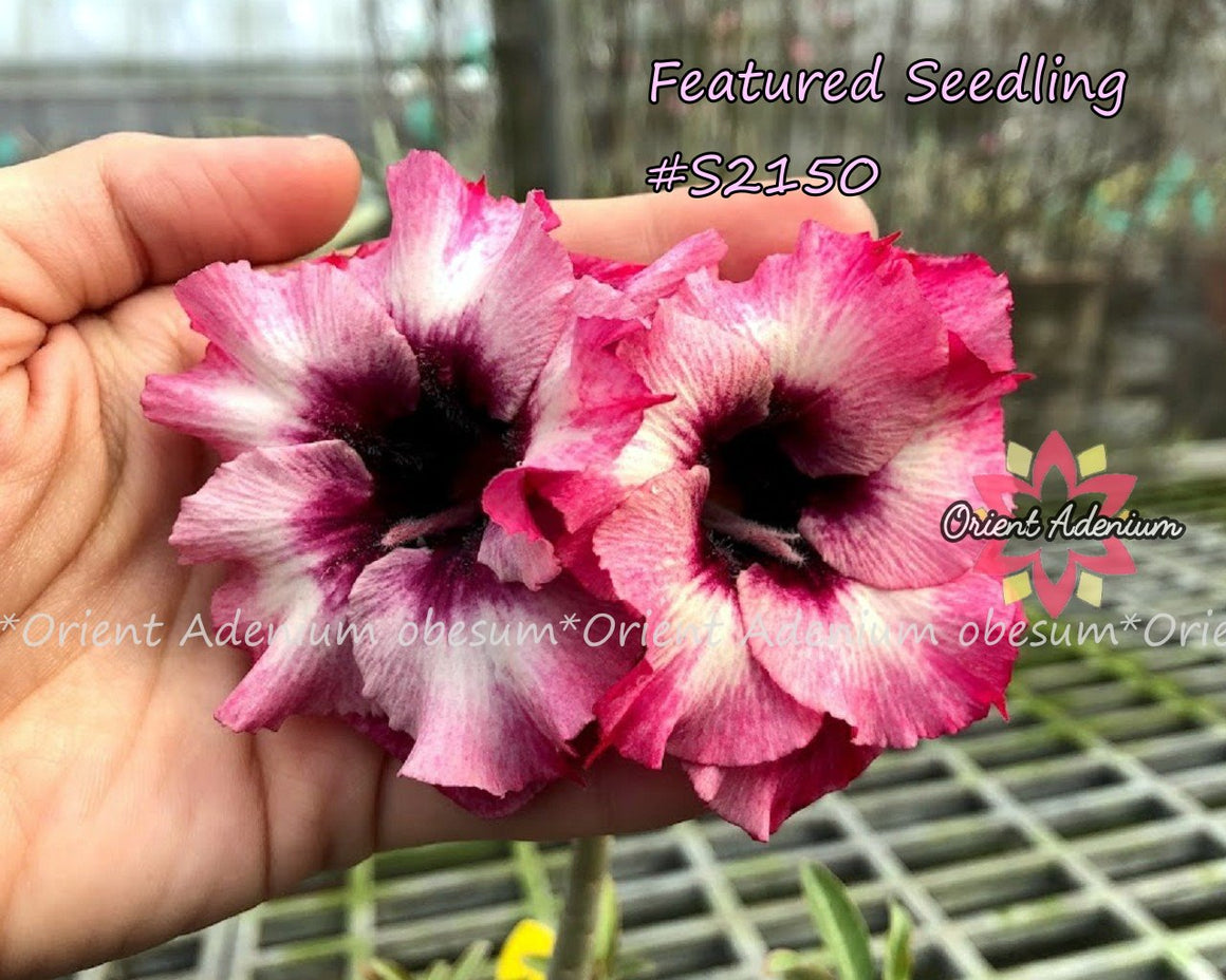 Adenium Featured Seedling #S2150