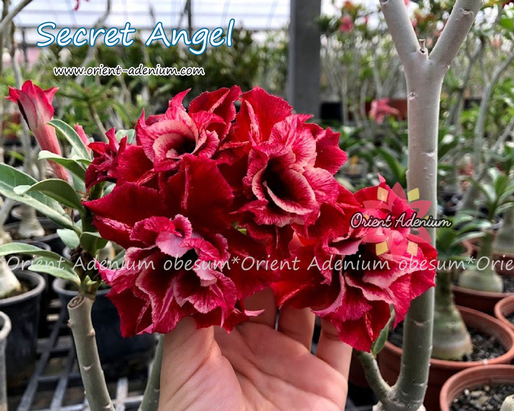Adenium obesum Secrect Angel Grafted plant