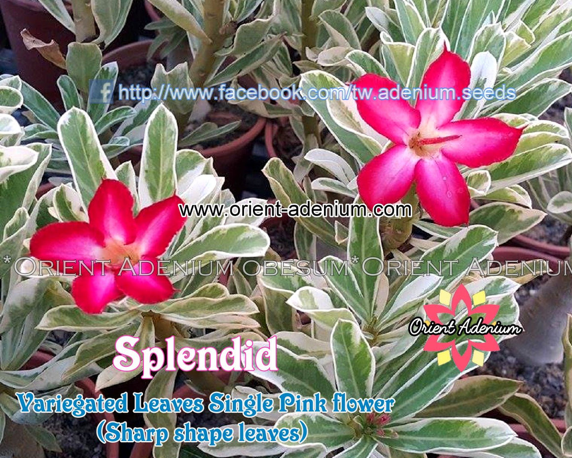 Adenium Splendid Grafted Plant