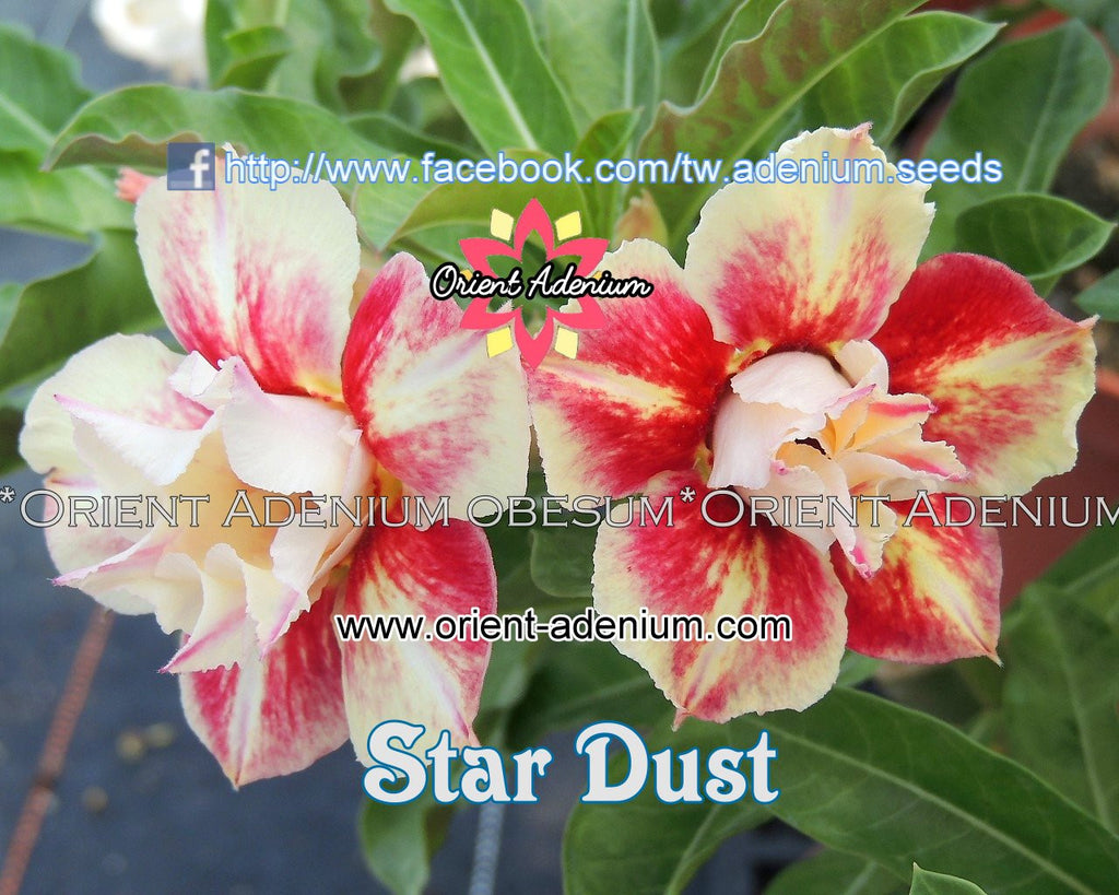 Adenium obesum Star Dust Grafted plant