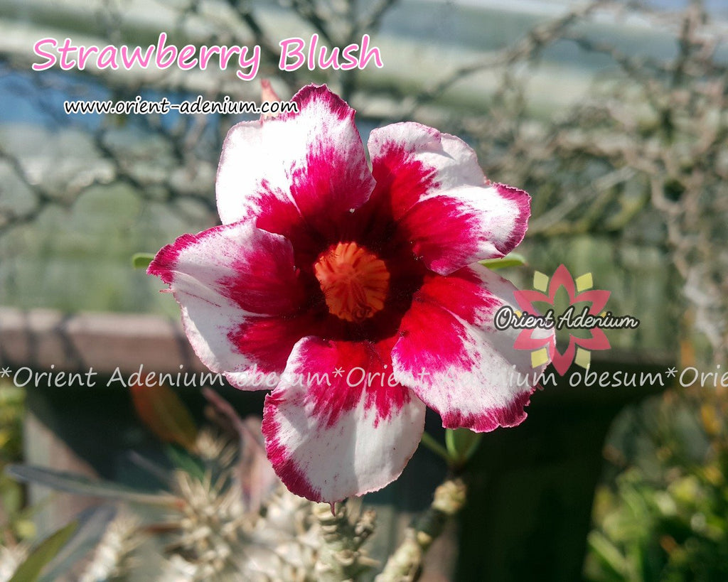 Adenium obesum Strawberry Blush Grafted plant