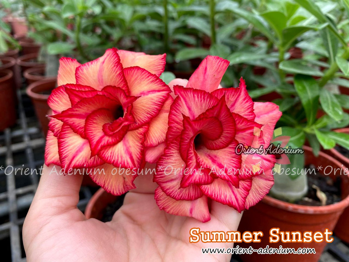 Adenium obesum Summer Sunset Grafted plant