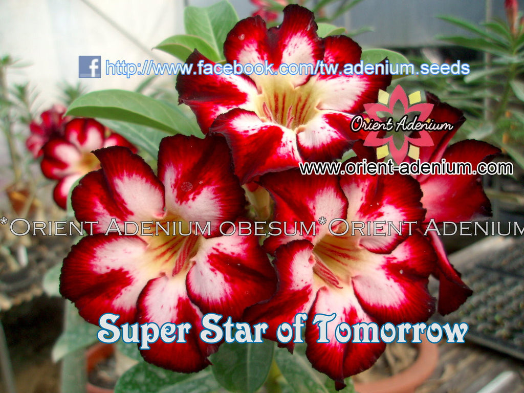 Adenium obesum Super Star of Tomorrow seeds