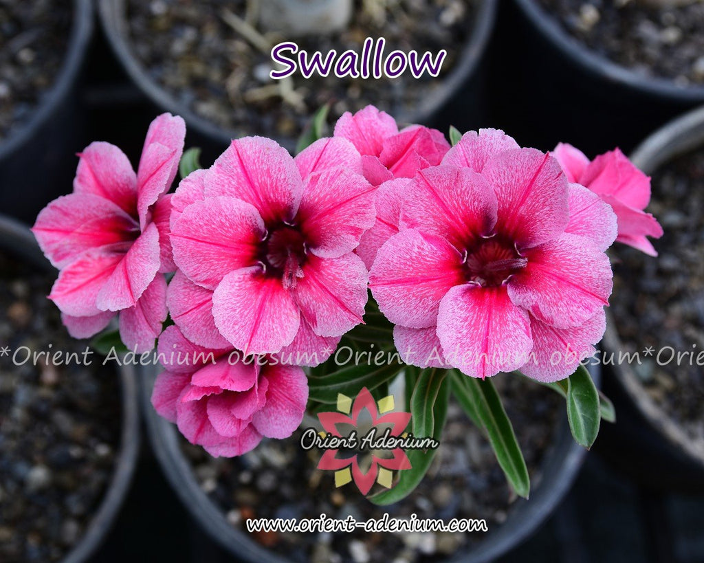 Adenium obesum Swallow Grafted plant