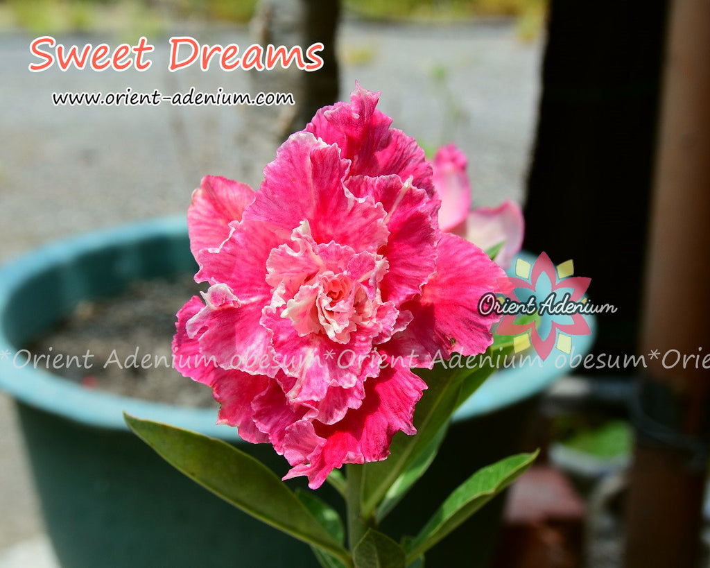 Adenium obesum Sweet Dream Grafted plant