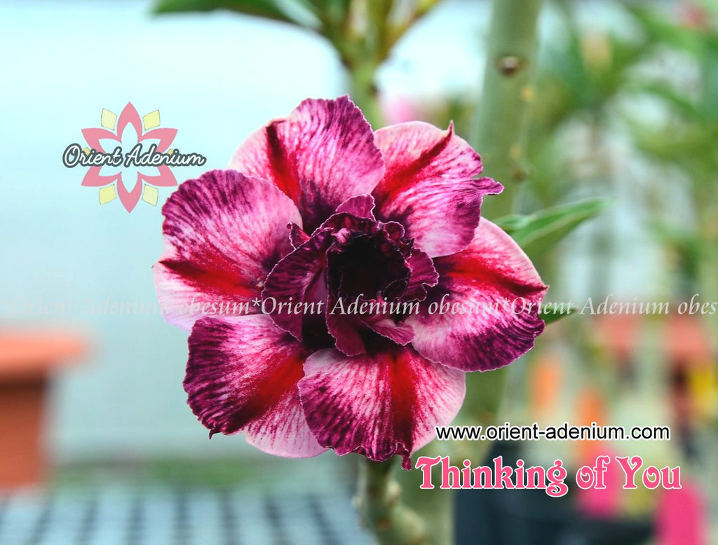 Adenium obesum Thinking of You Grafted plant