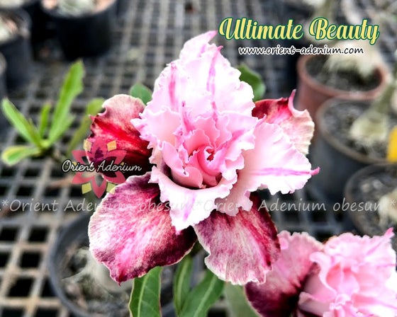 Adenium obesum Ultimate Beauty Grafted plant