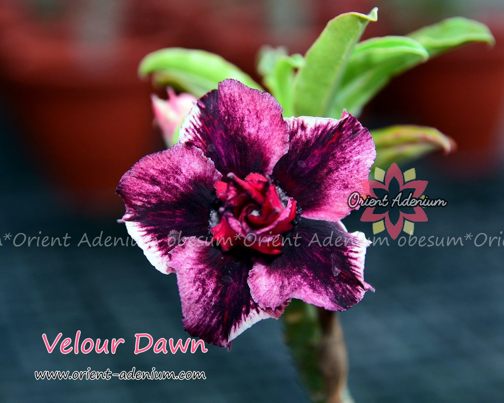 Adenium obesum Velour Dawn Grafted plant