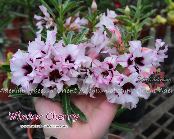 Adenium obesum Winter Cherry Grafted plant