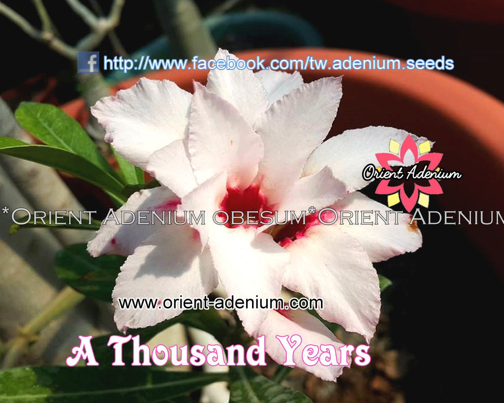 Adenium obesum A Thousand Years Grafted plant