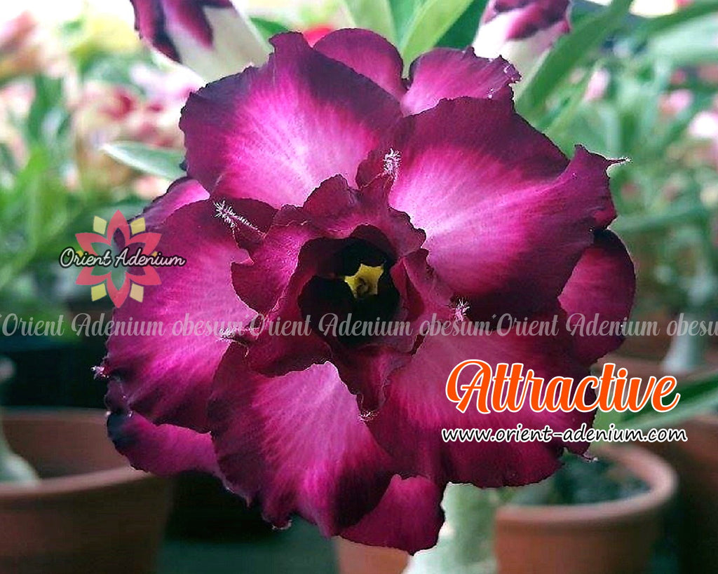 Adenium obesum Attractive Grafted plant