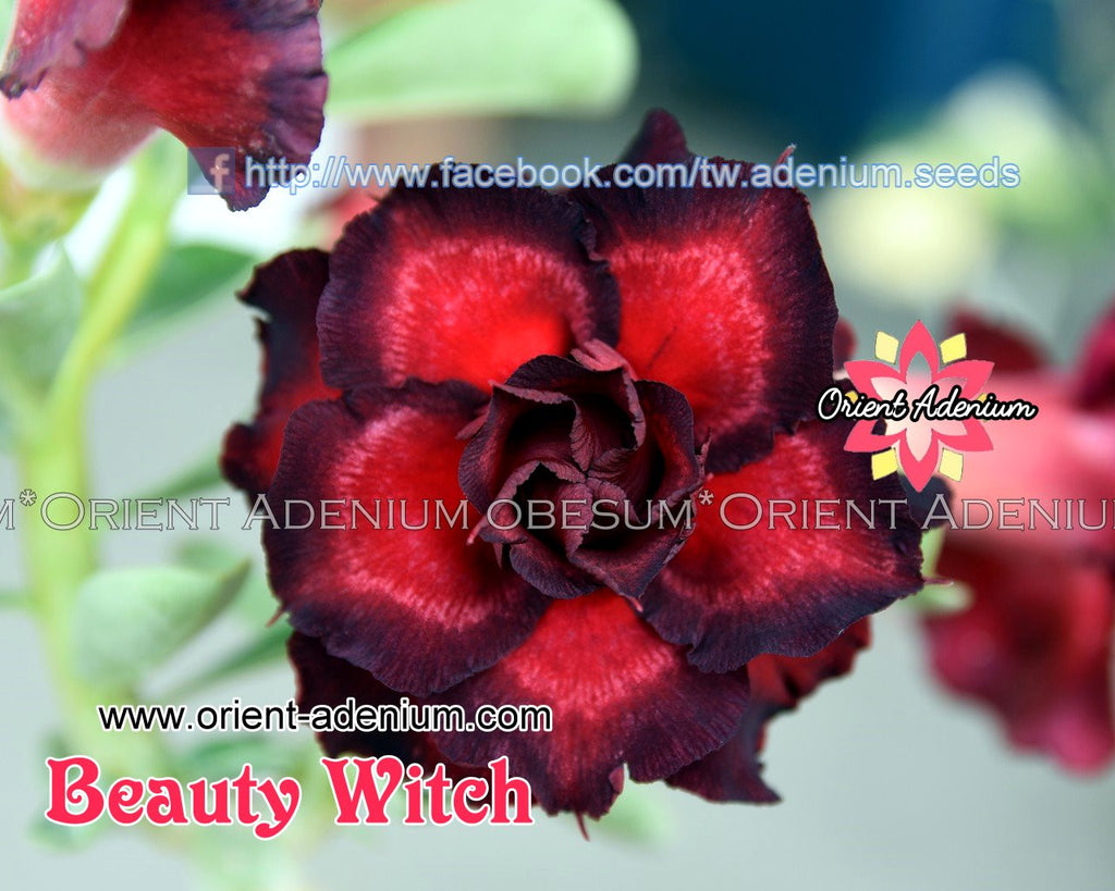 Adenium obesu Beauty Witch Grafted plant