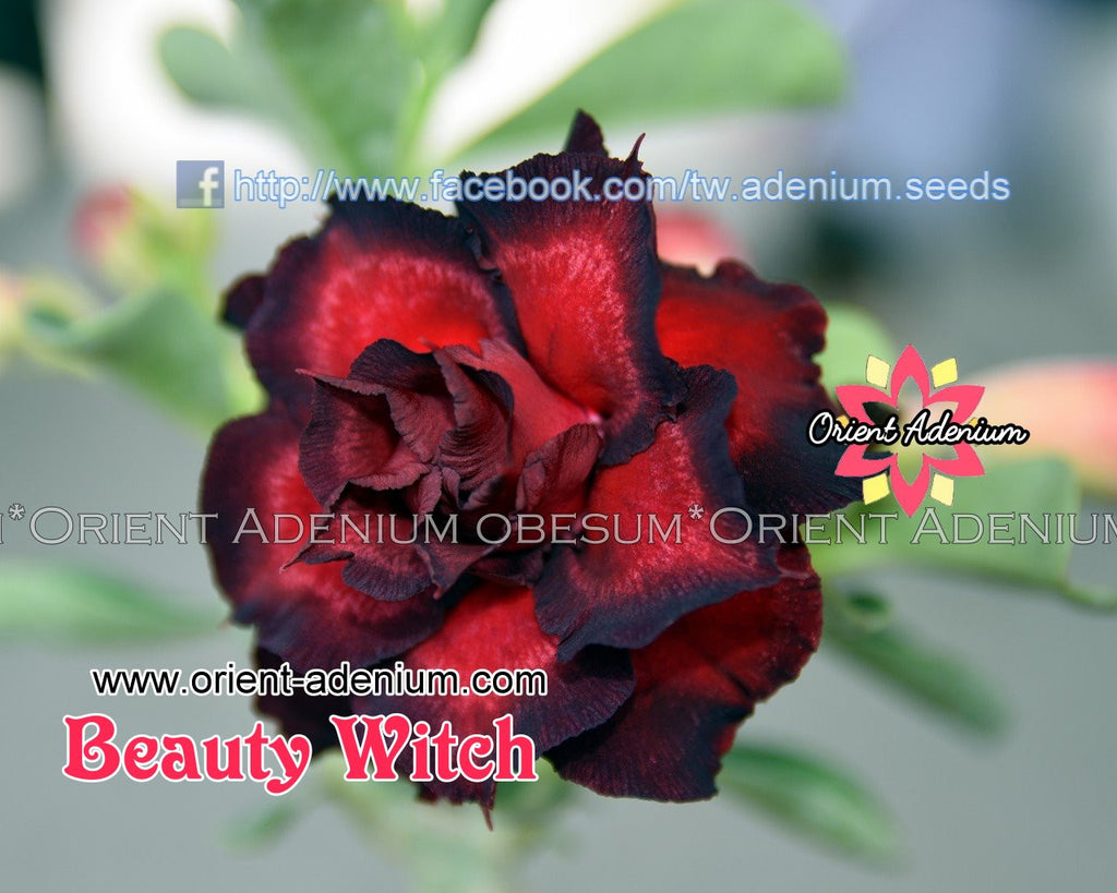 Adenium obesum Beauty Witch seeds