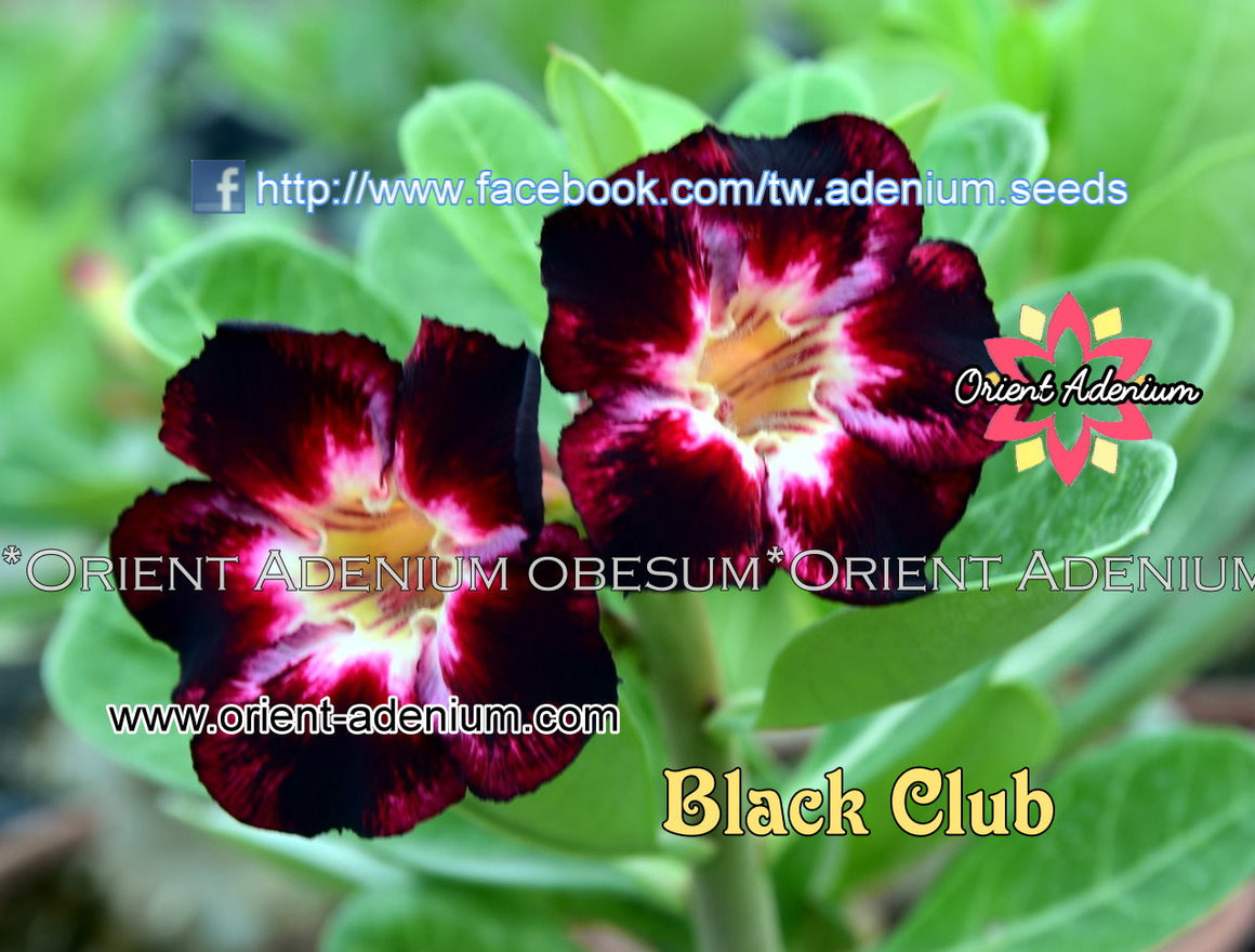 Adenium obesum Black Club seeds