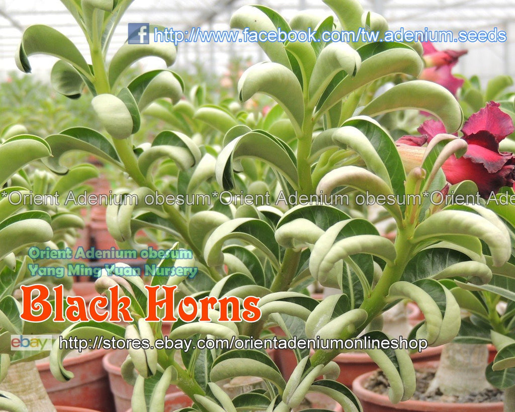 Adenium obesum Black Horns Grafted plant