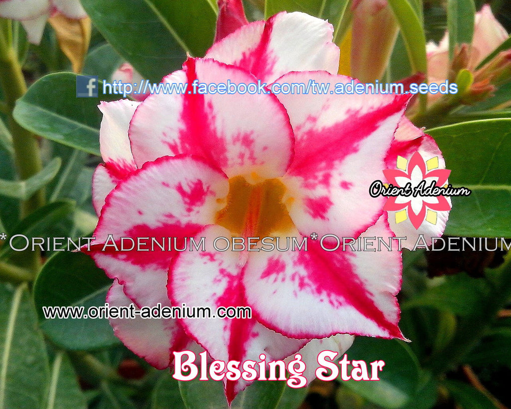 Adenium obesum Blessing Star Grafted plant