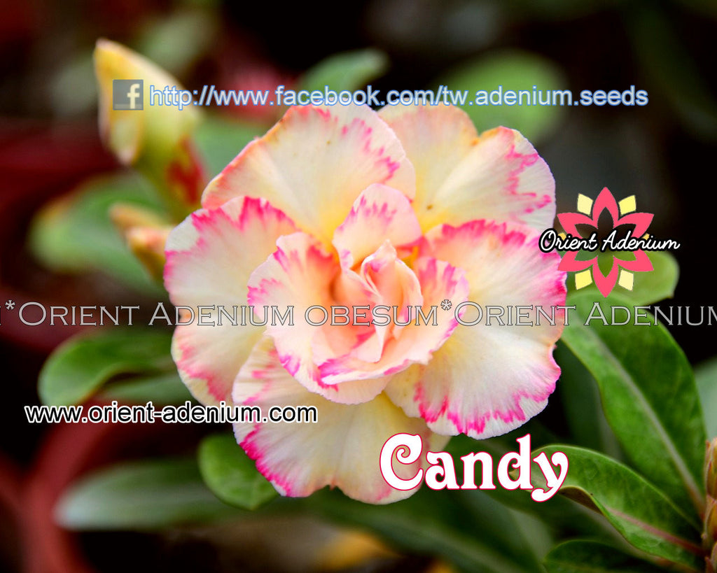 Adenium obesum Candy Grafted plant