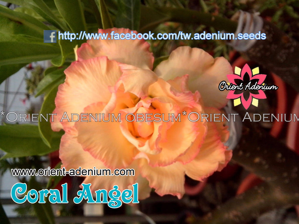 Adenium obesum Coral Angel Grafted plant