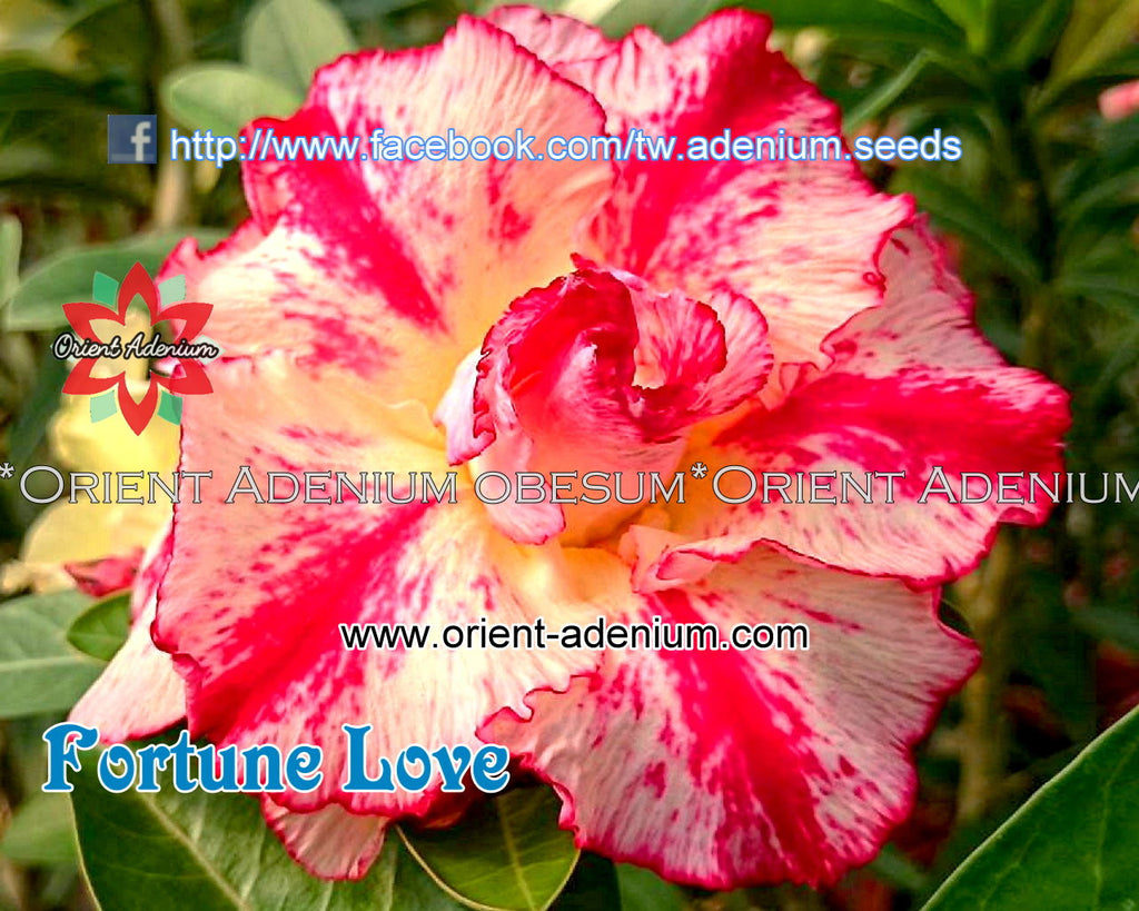 Adenium obesum Fortune Love Grafted plant