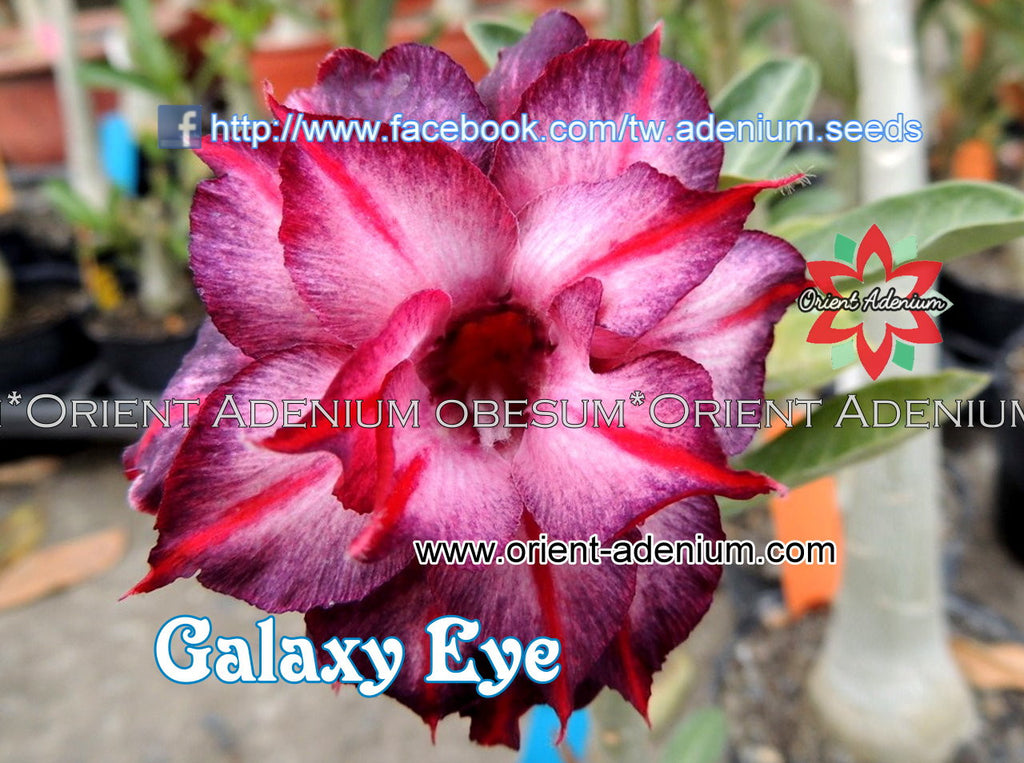 Adenium obesum Galaxy Eye seeds