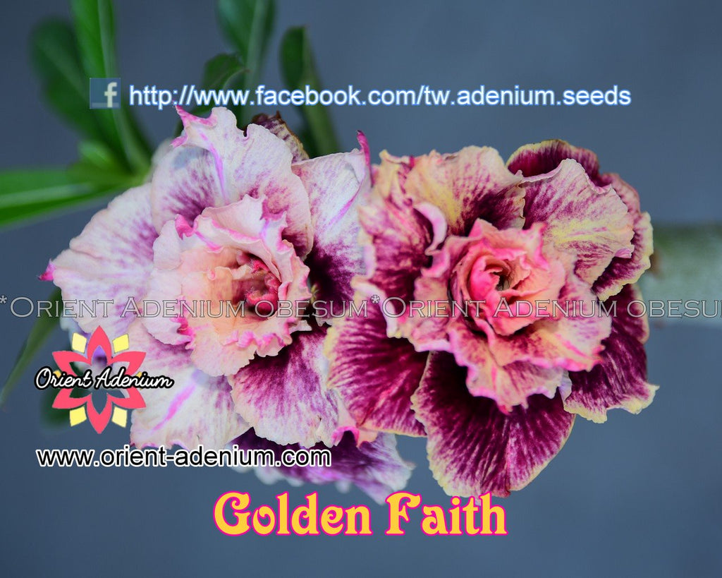Adenium obesum Golden Faith Grafted plant