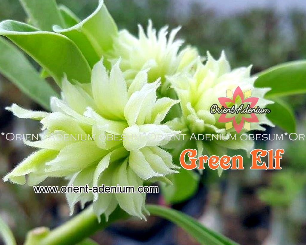 Adenium obesum Green Elf Grafted plant