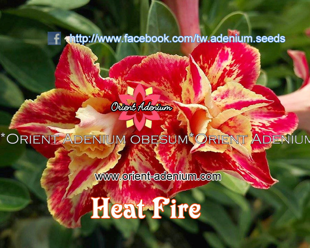 Adenium obesum Heat Fire Grafted plant