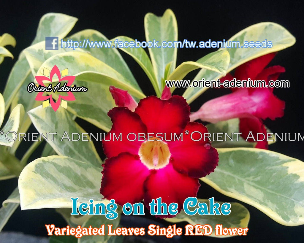 Adenium Icing on the Cake Grafted Plant
