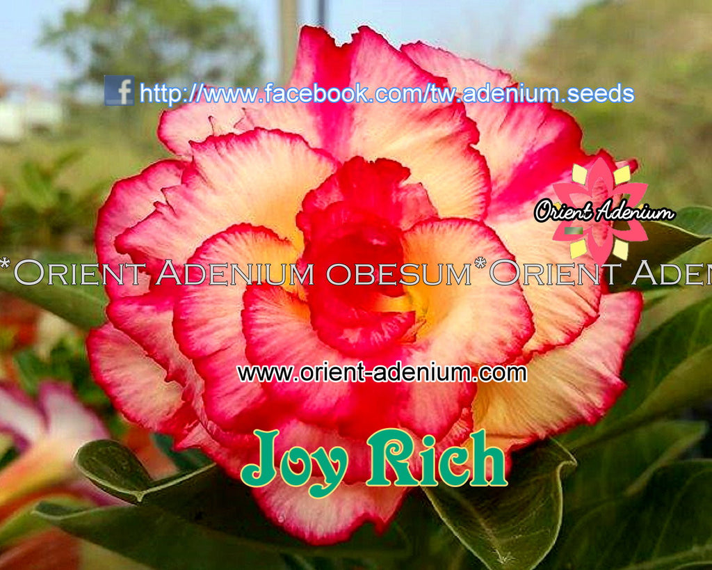 Adenium obesum Joy Rich Grafted plant