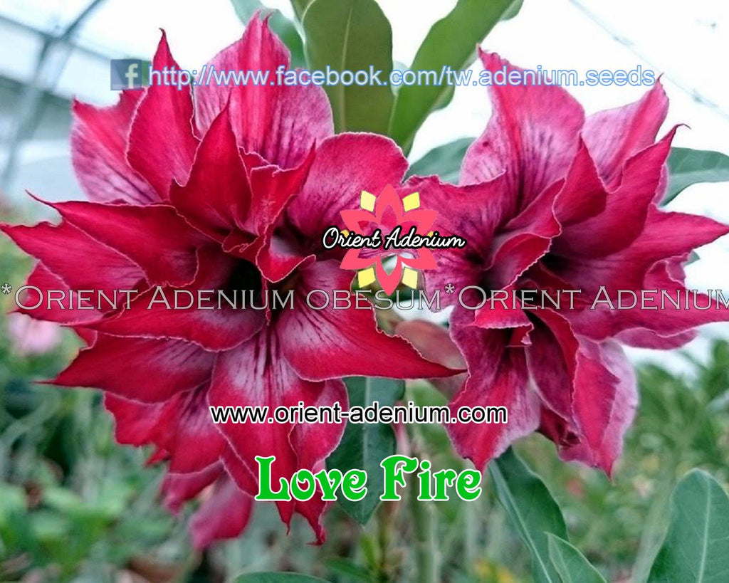 Adenium obesum Love Fire Grafted plant