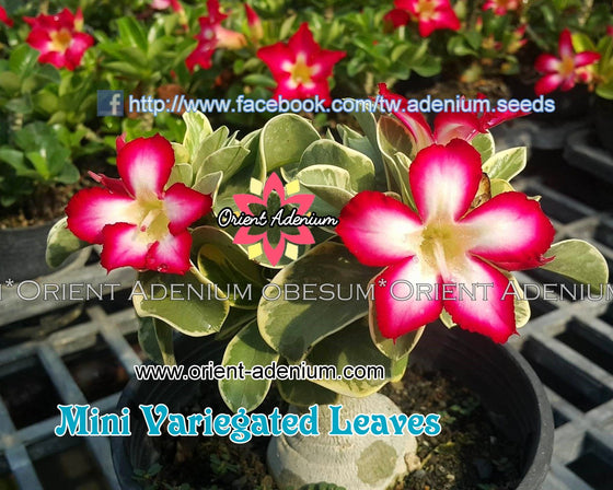 Adenium obesum MINI Variegated Leaves seeds