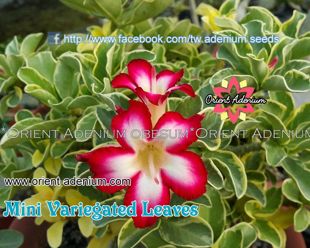 Adenium MINI Variegated Leaves Grafted Plant