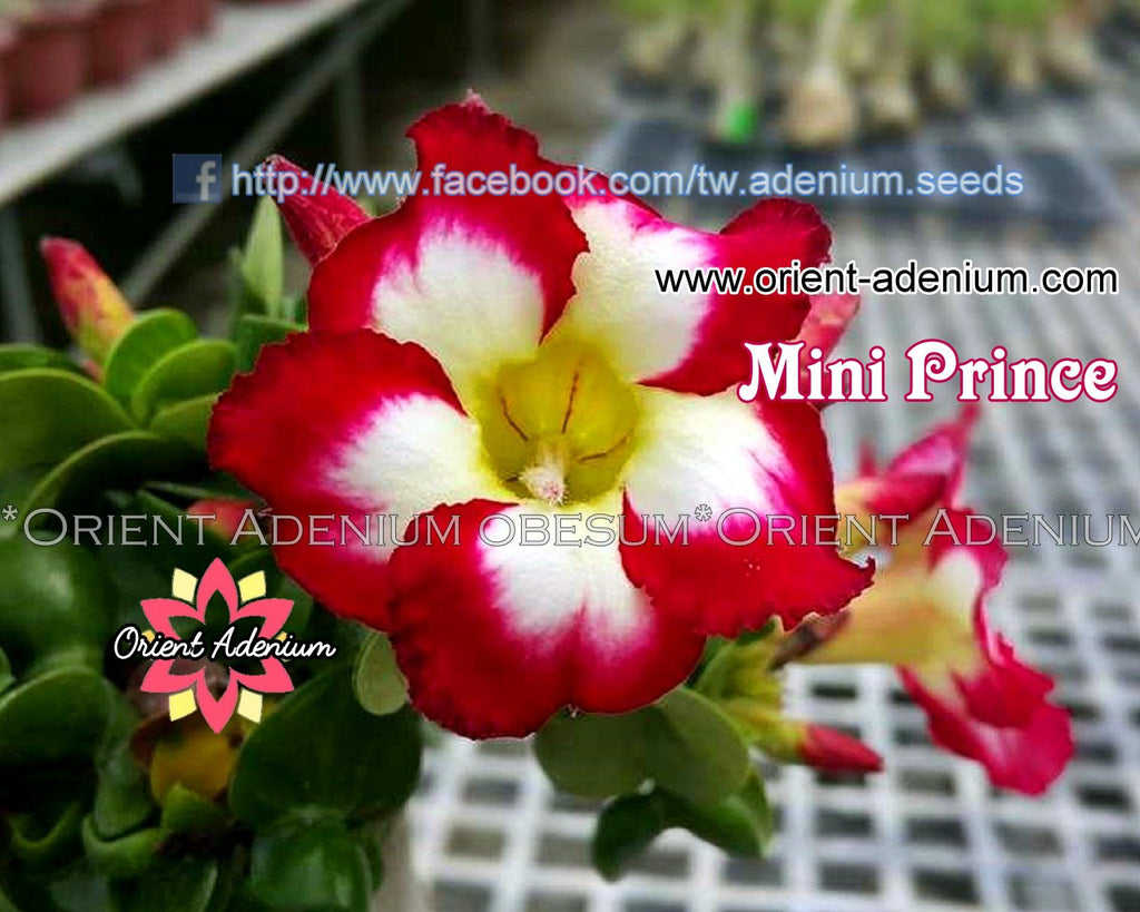 Adenium Mini Prince Grafted Plant