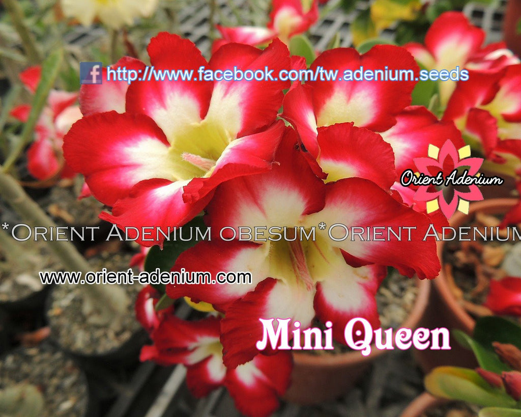 Adenium Mini Queen Grafted Plant