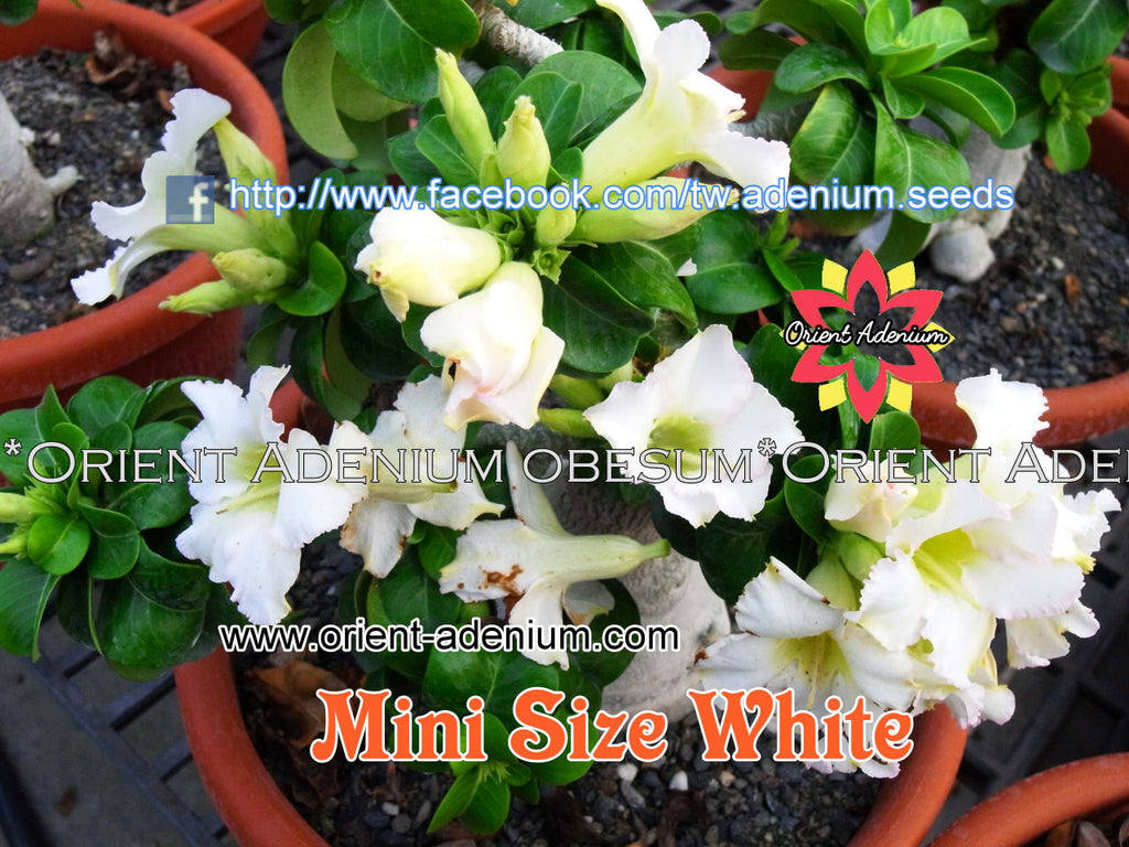 Adenium Mini White Grafted Plant