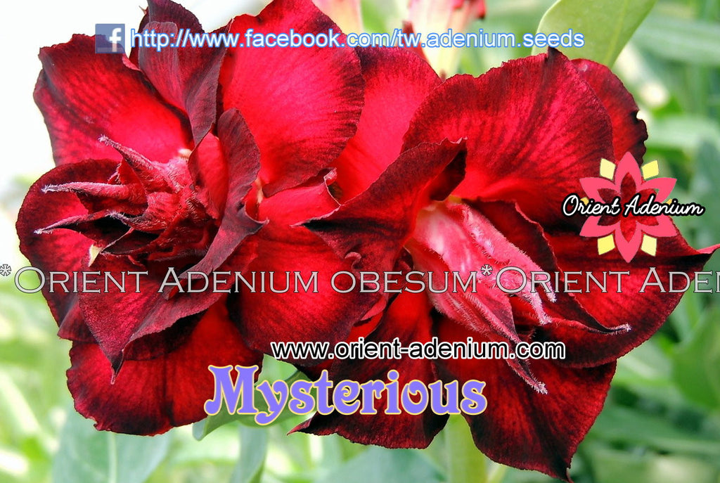 Adenium obesum Mysterious Grafted plant