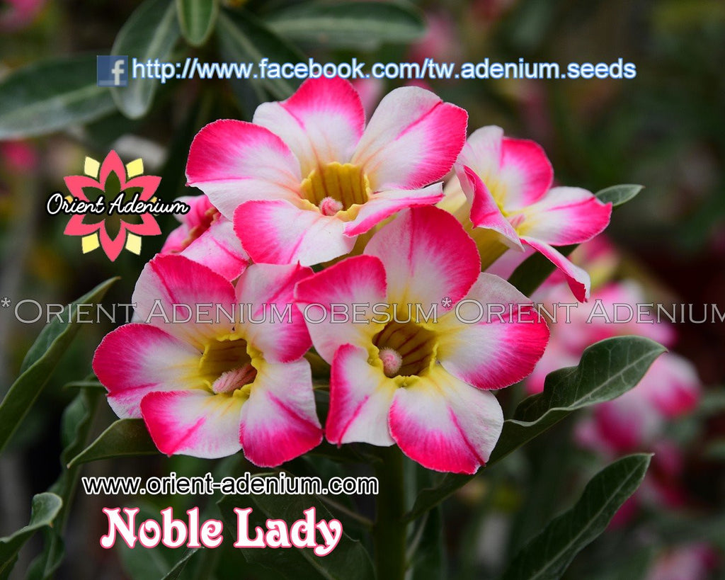 Adenium obesum Noble Lady Grafted plant