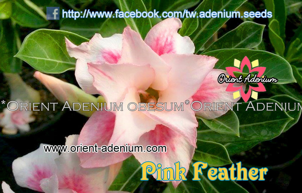 Adenium obesum Pink Feather Grafted plant