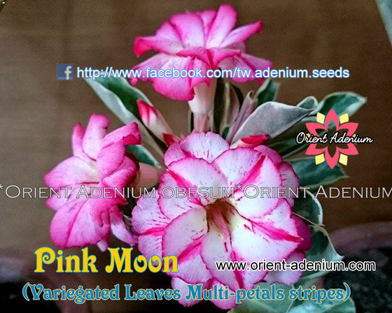 Adenium Variegated Leaves - Pink Moon