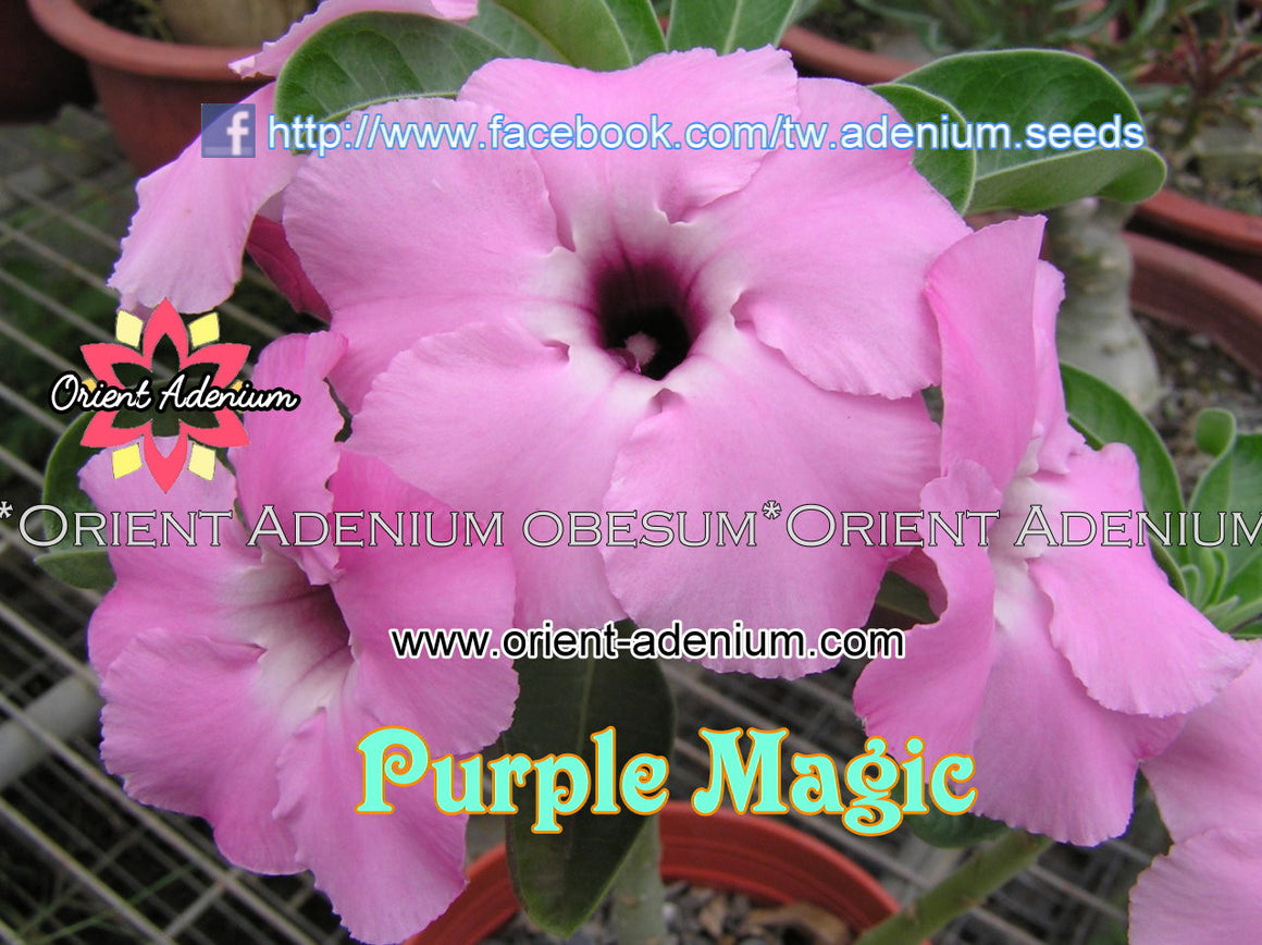 Adenium Swazicum Purple Magic Grafted plant