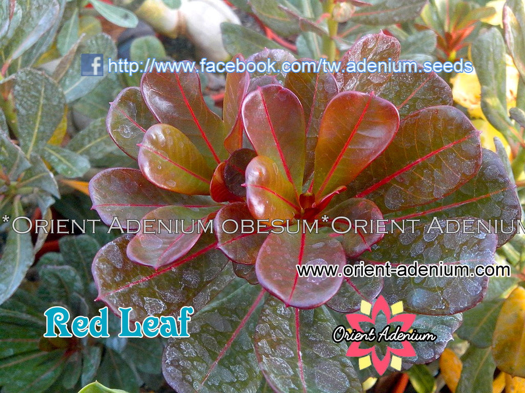 Adenium Variegated Red Leaf Grafted Plant