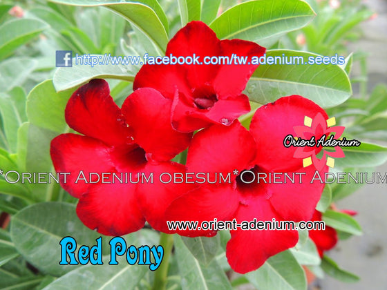 Adenium Swazicum Red Pony Grafted plant