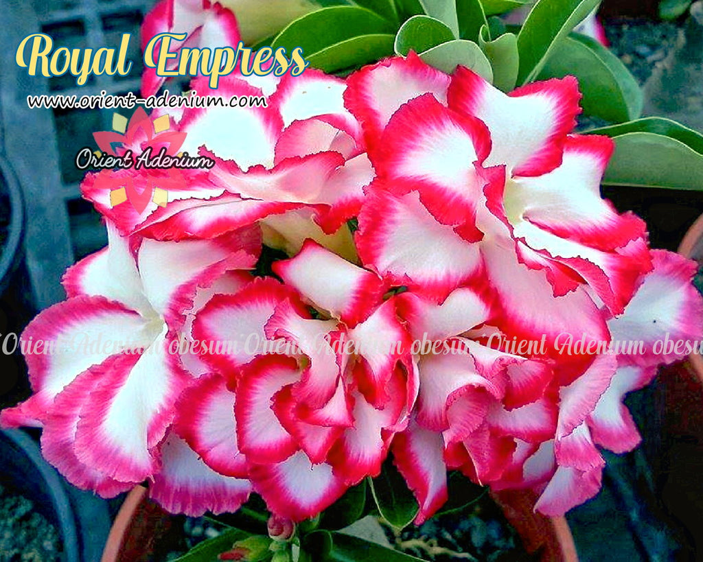 Adenium obesum Royal Empress Grafted plant
