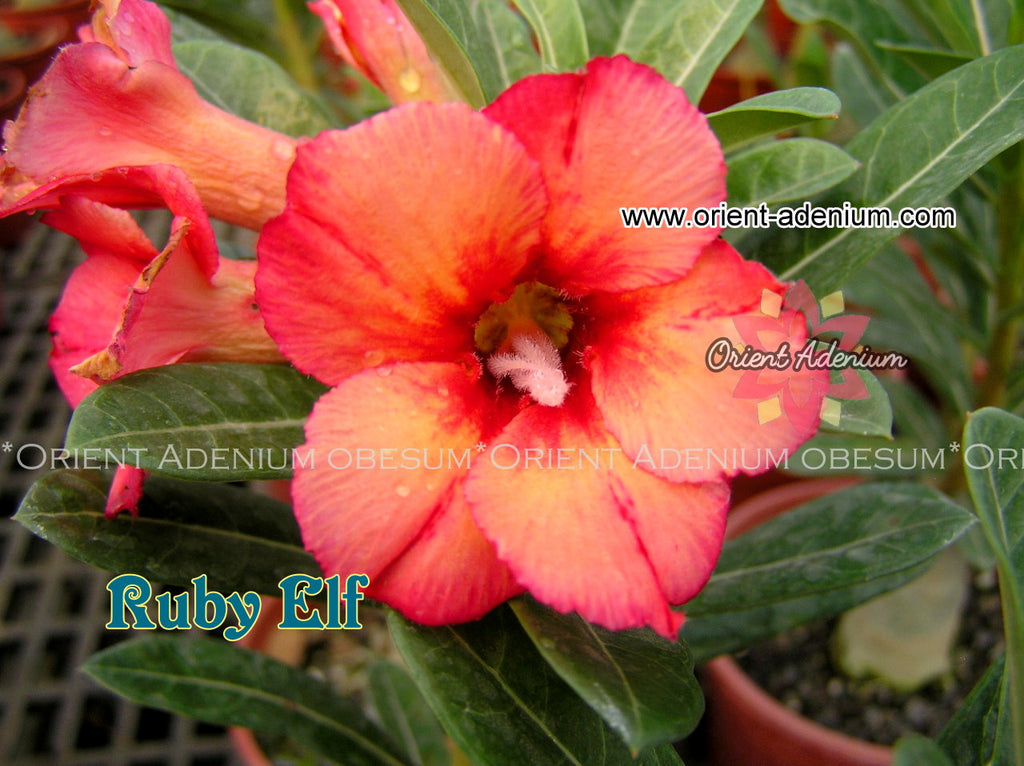 Adenium obesum Ruby Elf Grafted plant
