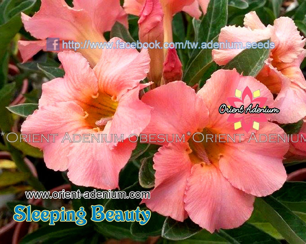 Adenium obesum Sleeping Beauty Grafted plant