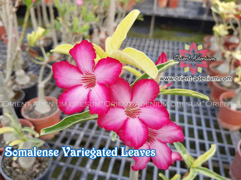 Adenium Somalense Variegated Leaves Grafted Plant