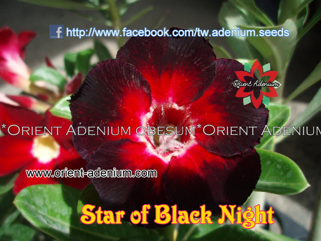 Adenium obesum Star of Black Night Grafted plant